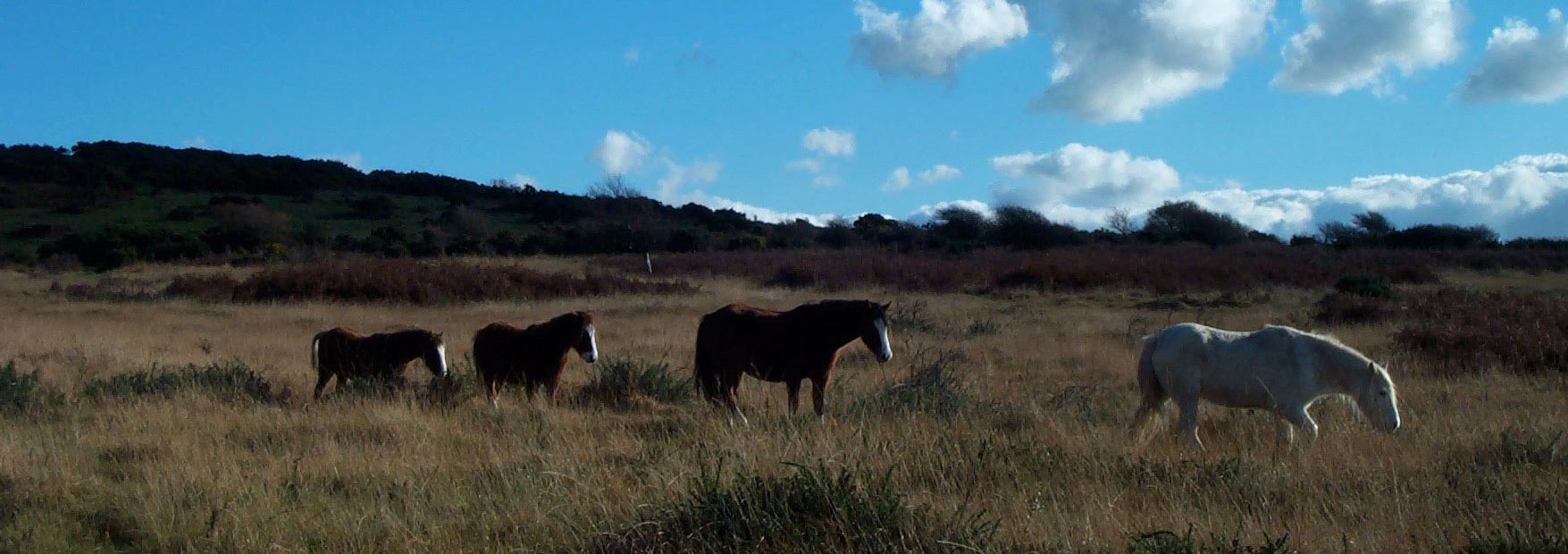 Gower-ponies-grazing-on-the-commons