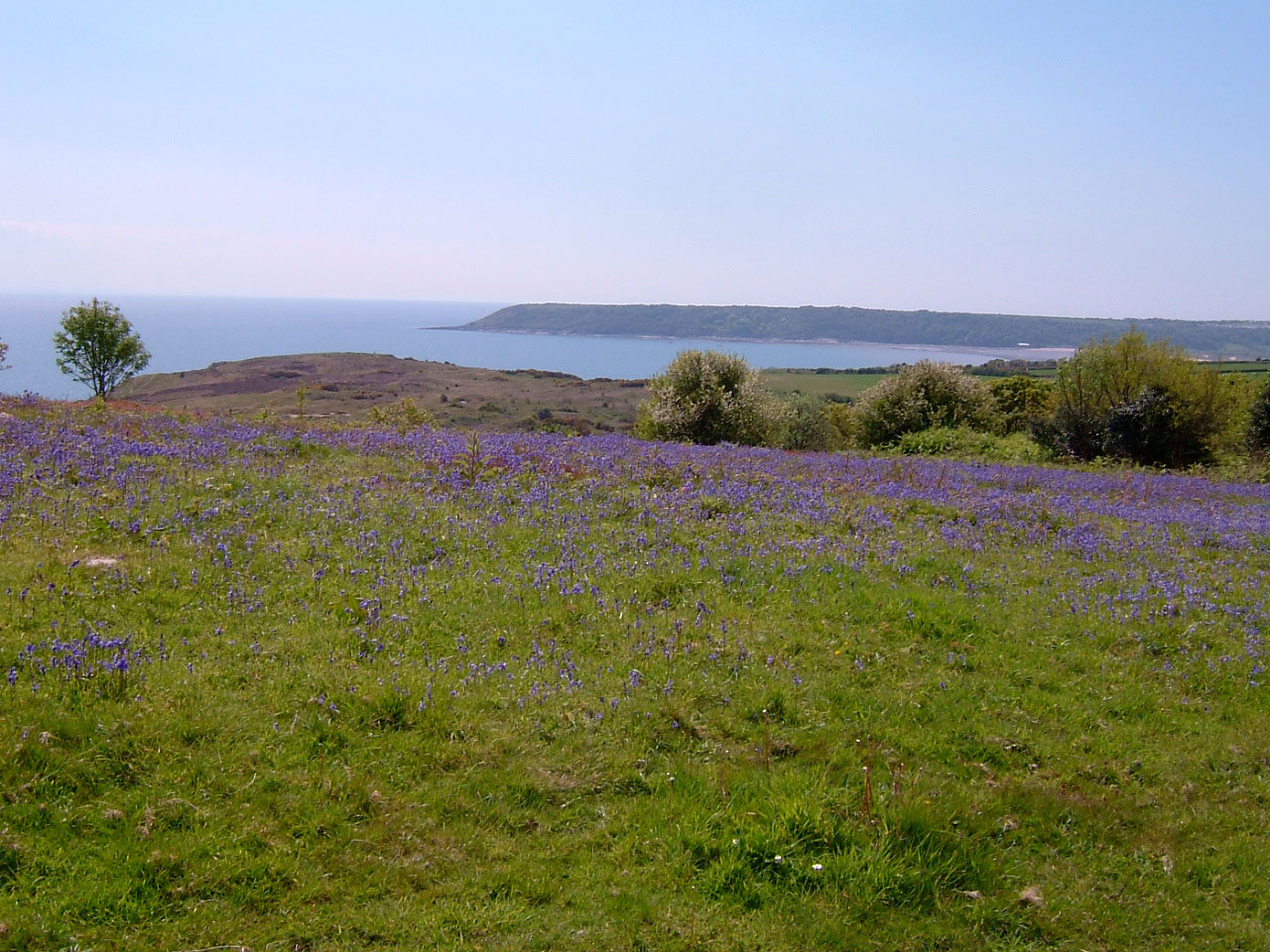 Nott-Hill-bluebells-on-Gower-Commons-project