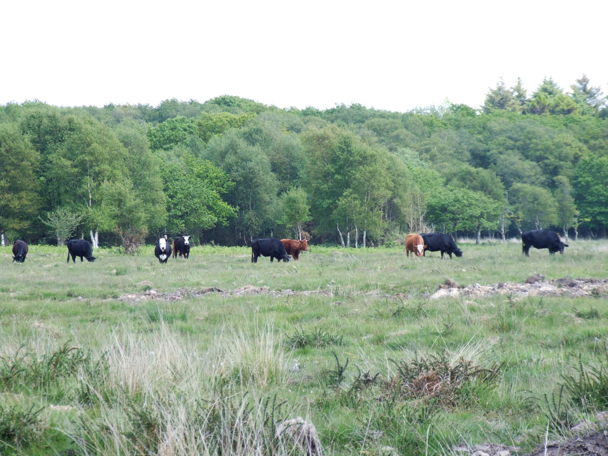 cattle-grazing-on-gower-commons