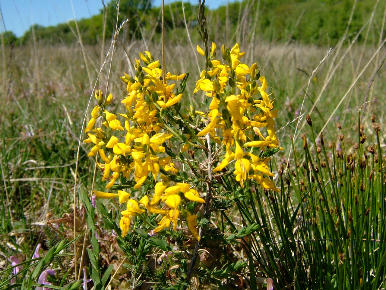 petty-whin-in-flower-on-gower