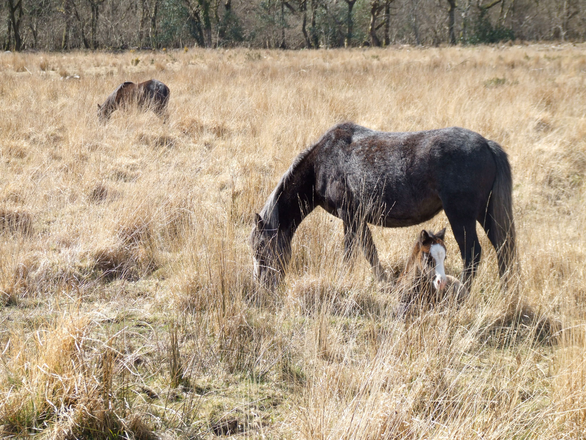 pony-and-foal-gower-commons-grazing-animals