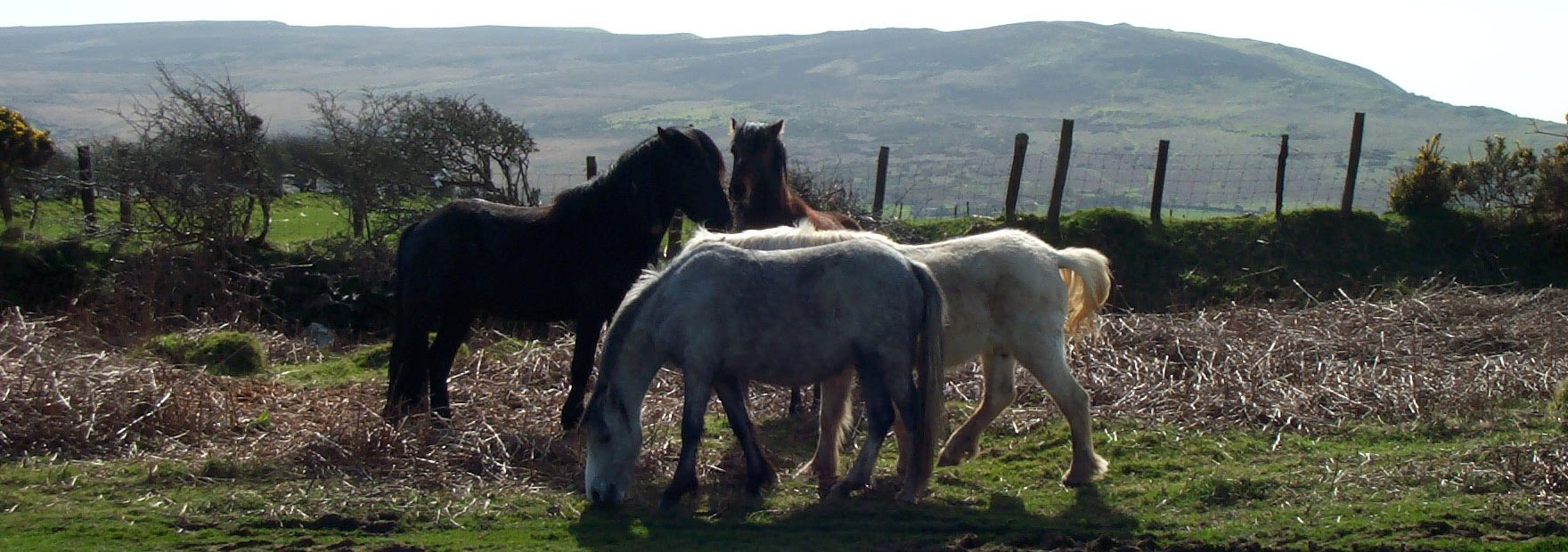 Tanky-horses-Gower-commons-grazing-animals